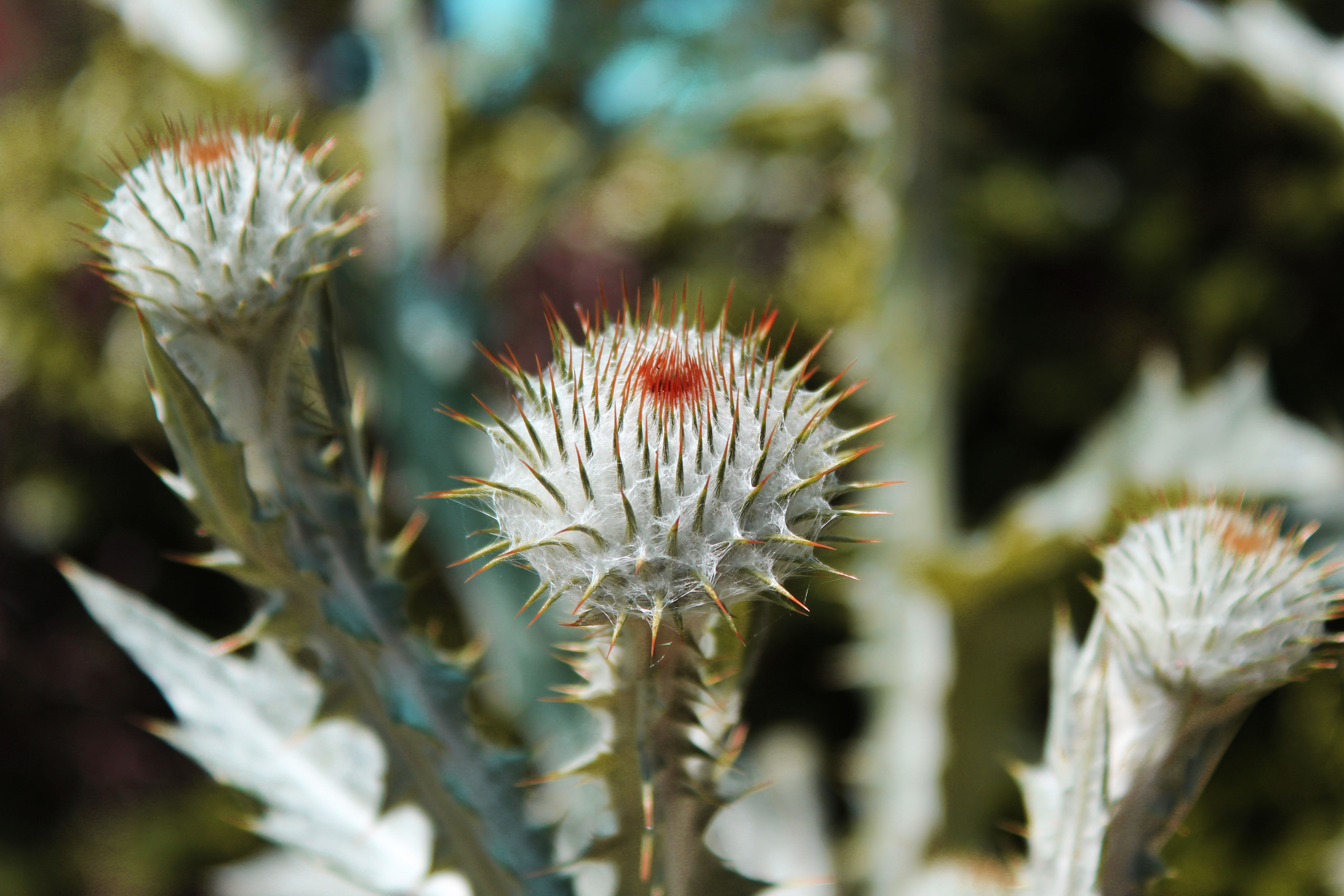 Spikeflower